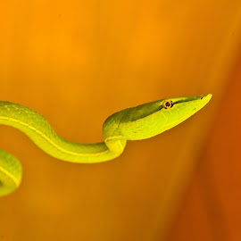 Where to next? by Mike O'Connor - Animals Reptiles ( vine, green, costa rica, snakes, arenal,  )