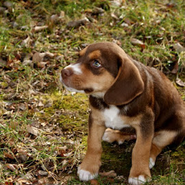 When I grow up. by Jessica Williams Bender - Animals - Dogs Puppies ( beagle puppy, beagle mix, puppy, puppy sitting on ground, mix puppy,  )