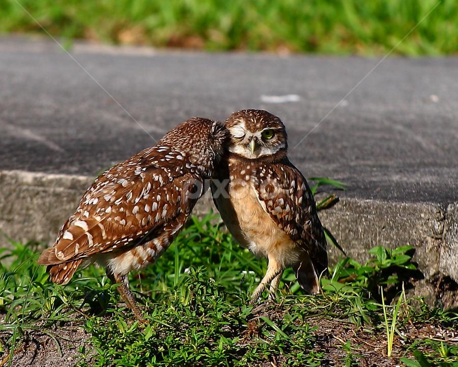 Brother Owl by Pablo Barilari - Animals Birds ( owl, bird couple, birds )