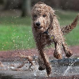 splash by Michael  M Sweeney - Animals - Dogs Running ( natural light, nice, michael m sweeney, run, nikond, puppy portrait, playing, d3, action, fur, playfull, nikon, animal, water, animals, nikonshooter, speed, labradoodle, 2015, nikon d, jump, pro, puppy, dog, joy full )