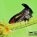 Tri Horned Planthopper
