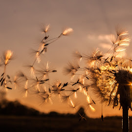 Gone with the wind by Zsolt Szabó - Nature Up Close Other plants ( wind, macro, dandelion, blow )