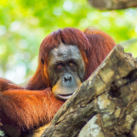 Lonely by Keith Walmsley - Animals Other ( nature, orangutan, brown, primate, natural, animal )