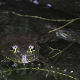 Backyard Pond Bullfrog by Jim Powell - Animals Amphibians ( waldo, bullfrog, backyard pond )