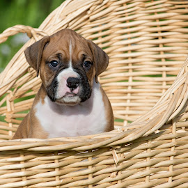 Pick Me by Tara Chumsae - Animals - Dogs Puppies ( animals, dogs, boxer, boxers, cute, puppies, sweet, pet, pets, cuddly, adorable, puppy, fawn, dog, animal, , #GARYFONGPETS, #SHOWUSYOURPETS )