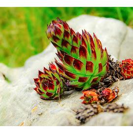 flower stone by Costin Mugurel - Nature Up Close Other plants ( plant, limestone, mountains, nature, flora )
