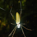 Golden silk orbweaver