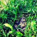 Columbia Spotted Frog