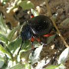 Dung beetle?