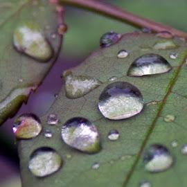 Rose Gems by Zoran Dojcinov - Nature Up Close Water