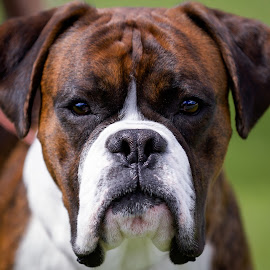 Whatchu lookin' at? by Michael Wiejowski - Animals - Dogs Portraits ( animals, perth, boxer, australia, dog, western australia )