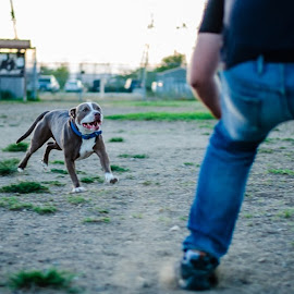#jellite #nikon #noho #nikond7000 #angeloperrino #dog #pitbull #lucythepit #khaskett Lucy loving the #dogpark ! by Angelo Perrino - Animals - Dogs Playing