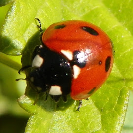 ladybug upclose by Floranda Rene - Animals Insects & Spiders
