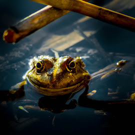 Look into my eyes by Adrian Ioan Ciulea - Animals Amphibians ( water, frog, lake, animal, eyes )
