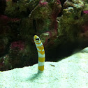 Splendid garden eel