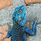 Blue-headed Tree Agama