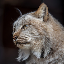 Canadian Lynx (Lynx canadensis) by Chad Hamik - Animals - Cats Portraits