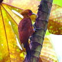 Chestnut Colored Woodpecker