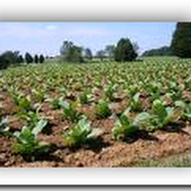Technology uses tobacco plants to fight cancer - Breakthrough