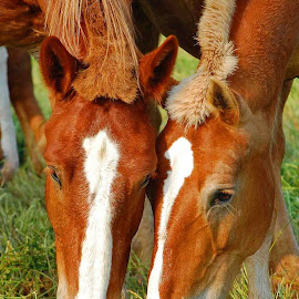 Two Heads by Brian Graybill - Animals Horses