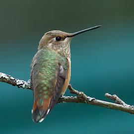 Hummingbird by Sheldon Bilsker - Animals Birds ( bird, nature, park, hummingbird, animal )