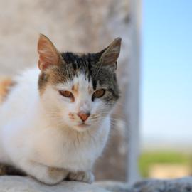 Turkish Kitten by Merina Tjen - Lim - Animals - Cats Kittens ( kitten; cat; turkey; animal; posing,  )