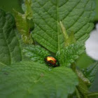 (Golden) Leaf Beetle