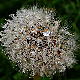 The Stars And Light On The Way by Marija Jilek - Nature Up Close Other plants ( water, dandelion, nature, stars, drops, plants, way, seeds, light )