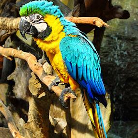 Multicolor parrot by Nyoto Nugroho Poospo - Animals Birds