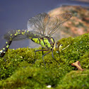 Southern Hawker, female