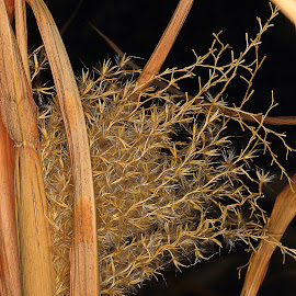 Reeds by Charles KAVYS - Nature Up Close Gardens & Produce ( old, brown, fluff, reeds, black )