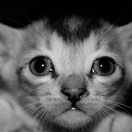ready to burst into tears by Tareq Touhid - Animals - Cats Portraits (  )