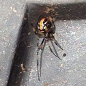 Black Widow (immature)