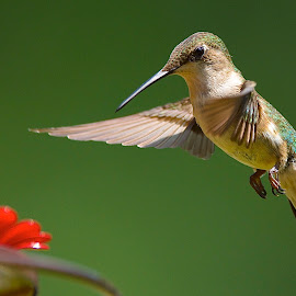 But Which Red Flower? by Roy Walter - Animals Birds ( animals, wings, hummingbird, wildlife, feathers, birds )
