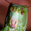 Quirky Face of a Katydid