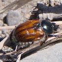 Wheat Chafer
