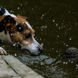 My Ball! by Stuart Byles - Animals - Dogs Playing ( water, ball, jack, dog, russell, tennis ball )