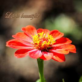 Life is beautiful by Suzana Trifkovic - Typography Quotes & Sentences ( saying, red, life, nature, quote, beautiful, garden, flower )
