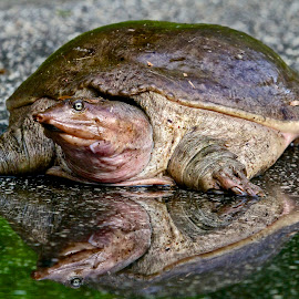 Florida soft-shelled turtle by Sandy Scott - Animals Reptiles ( reptiles, florida soft-shelled turtle, turtle, soft-shelled turtle,  )
