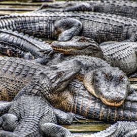 Gator Sleep Over?  by Jeanine Akers - Animals Reptiles ( reptiles, florida, orlando, alligators, nikond610, gatorland )