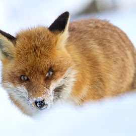 Fox by Davide Biagi - Animals Other Mammals