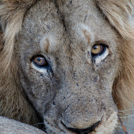 Old Man by Charmaine Joubert - Animals Lions, Tigers & Big Cats ( lion, carnivore, kruger national park, male, africa, close up )