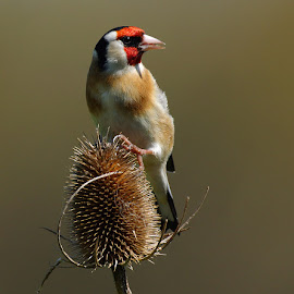 Goldfinch by Bob Rawlinson - Animals Birds ( goldies )