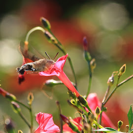 Macroglossum stellatarum by Ghimpe Cristian - Nature Up Close Gardens & Produce