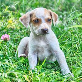 by Maja  Marjanovic - Animals - Dogs Puppies ( puppies, animals, dogs )