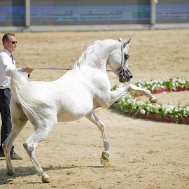 Texas Magic 2 by Manal Ali - Animals Horses ( colts, horses, stallions, horse, stud, stables, equestrian, rearing,  )