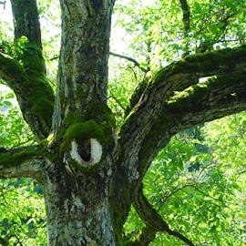 Juglans regia by Maurice Godefridi - Nature Up Close Trees & Bushes ( tree, bellegarde, juglans, france )