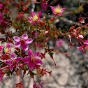 Calytrix brevifolia (no common name)