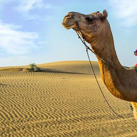 Camel  by Raj Nandi - Landscapes Deserts