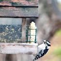 Downy Woodpecker ( Male)